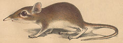 Elephantulus rufescens Peters 1878.jpg