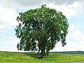 Elm Tree in Massachusetts June 2012.jpg