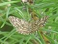 Ematurga atomaria - Common heath - Пяденица вересковая (40882883242).jpg