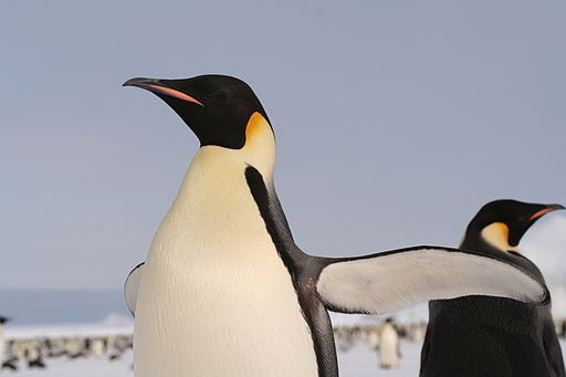 EmperorPenguin 2005 2592