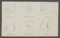 Entomacis - Print - Iconographia Zoologica - Special Collections University of Amsterdam - UBAINV0274 046 16 0011.tif