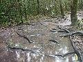 Entre raízes e poças de agua.jpg