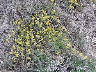 Ephedra distachya - Image: Ephedra distachya (male plant in bloom)