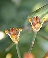 Ephedra foeminea 1.jpg