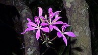 Epidendrum flexuosum G.Mey. (12236729856).jpg