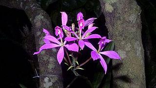 HOA GIEO TỨ TUYỆT 2 - Page 3 320px-Epidendrum_flexuosum_G.Mey._%2812236729856%29