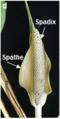 Epipremnum aurem flower.png