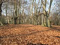 Epping Forest, carpet of beech leaves - geograph.org.uk - 1214293.jpg
