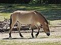 Equus-p-przewalskii-facing-right-1.jpg