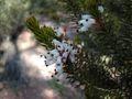 Erica multiflora.jpg