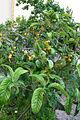 Eriobotrya japonica JPG1a.jpg