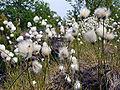 Eriopholum Latifolium.jpg