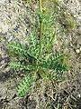 Erucastrum nasturtiifolium sl5.jpg