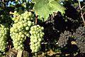 Erzingen Weintrauben.jpg