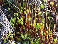 Esporangios Polytrichum piliferum 2010-4-08 SierraMadrona.jpg