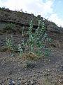 Ethiopie-Calotropis procera (3).jpg
