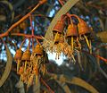 Eucalyptus globosus 3 Sousse 2009.jpg