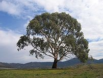 Eucalyptus Rubida, at Burra creek near the Lag...