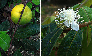 <i>Eugenia stipitata</i> species of plant