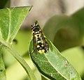 Eumenes mediterraneus female (32894793296).jpg