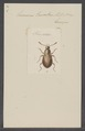 Eumicrus - Print - Iconographia Zoologica - Special Collections University of Amsterdam - UBAINV0274 016 01 0019.tif