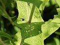 Eupatorium perfoliatum SCA-9257 4x3.jpg