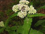 Eupatorium perfoliatum with bee and caterpillar.jpg