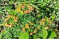 Euphorbia cyparissias at Lac de Roy (4).jpg