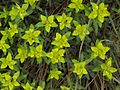 Euphorbia epithymoides Višebojna mlečika.jpg
