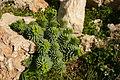 Euphorbia pinea.JPG