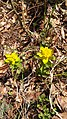 Euphorbia sp. (Euphorbiaceae) 01.jpg