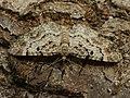 Eupithecia abietaria - Cloaked pug - Цветочная пяденица хвойная (40048747985).jpg