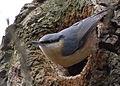 Eurasian Nuthatch (Sitta europaea) by nest hole.jpg