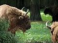 European Bison (81464637).jpeg