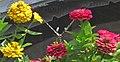 Eurytides marcellus (zebra swallowtail butterfly) on zinnias (Newark, Ohio, USA) 2 (41887113980).jpg