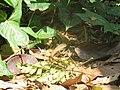 Eutropis multifasciata (26120926257).jpg