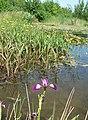 Eversholt Millennium Pond - geograph.org.uk - 183084.jpg