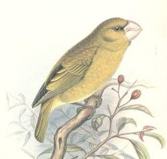 Grosbeak - Kona grosbeak (Chloridops kona)