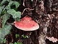 Fígado de boi (Fistulina Hepática) - panoramio.jpg