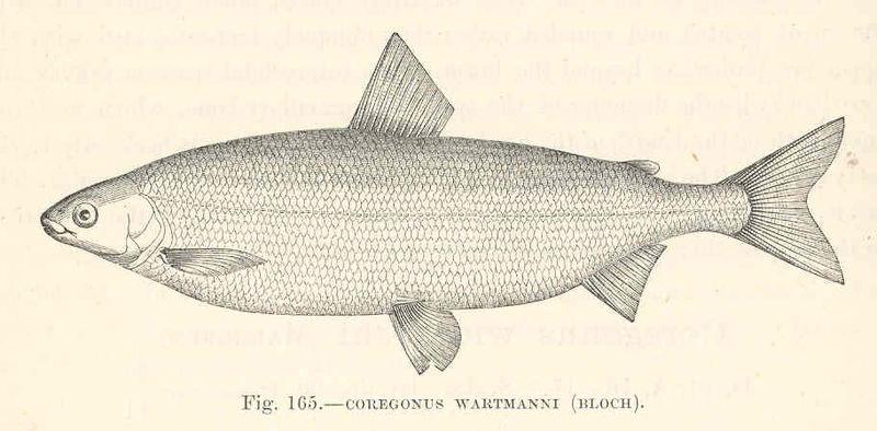 File:FMIB 48133 Coregonus wartmanni (Bloch).jpeg