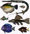 F de Castelnau-poissons - Diversity of Fishes (Composite Image).jpg