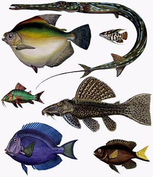 Teleost - Image: F de Castelnau poissons Diversity of Fishes (Composite Image)
