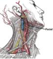 Facial artery.PNG