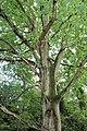 Fagales - Quercus robur - 1.jpg