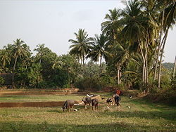 Cattle walks along a farming area in Morjim village, Pernem taluka