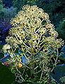 Fatsia japonica - San Francisco Botanical Garden - DSC00050.JPG