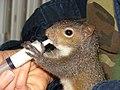 Feeding a baby squirrel.jpg