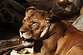 Female African Lion (4232406602).jpg