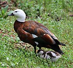 Female Paradise Duck with Chick (31678049285).jpg