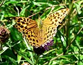 Female Silver-washed Fritillary - geograph.org.uk - 922136.jpg